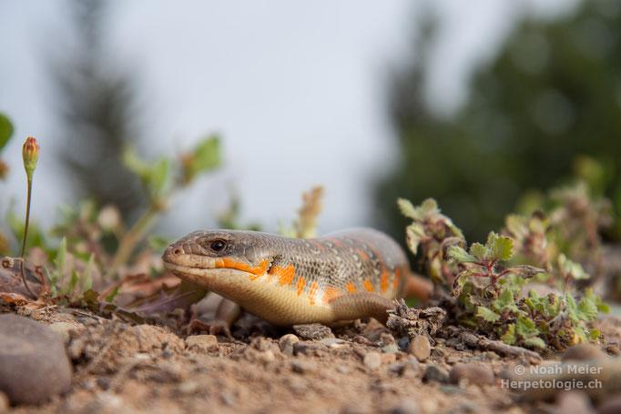 Berberskink (Eumeces algeriensis)