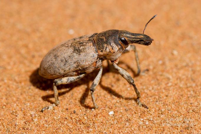 Rüsselkäfer (Curculionidae sp.)