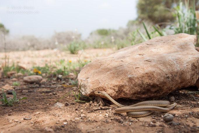 Sandrennnatter (Psammophis schokari)
