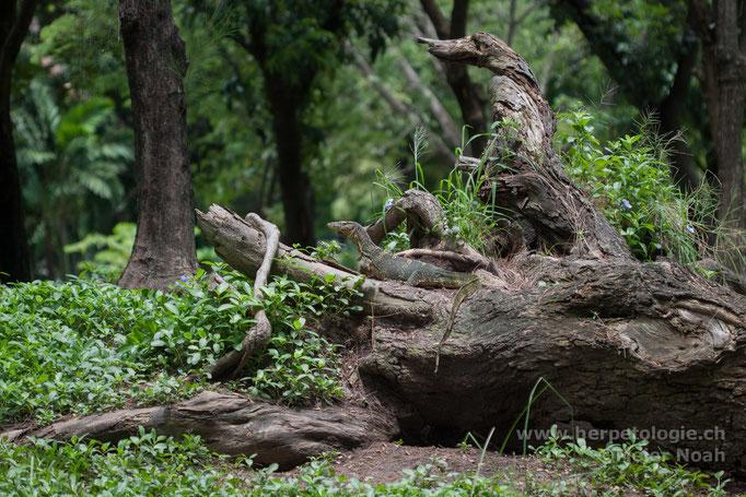 Bindenwaran (Varanus salvator)