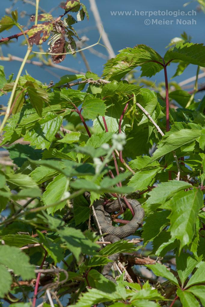 Würfelnatter (Natrix tesselata)