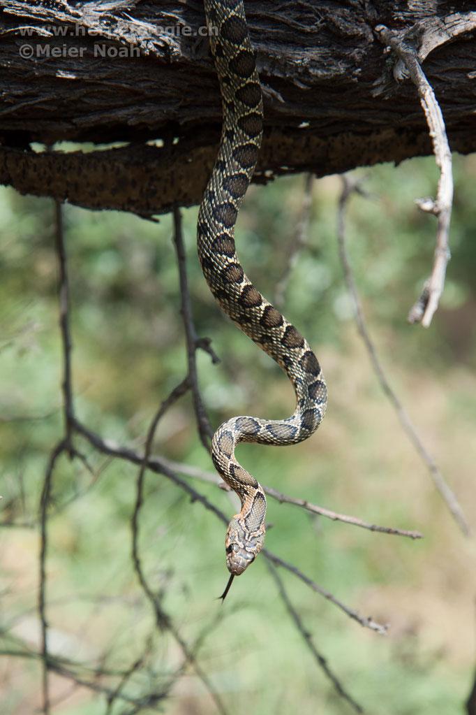 Hufeisennatter (Hemorrhois hippocrepis)