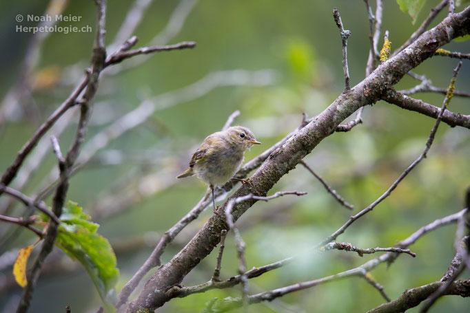 Zilpzalp (Phylloscopus collybita), Jungvogel, Schweiz