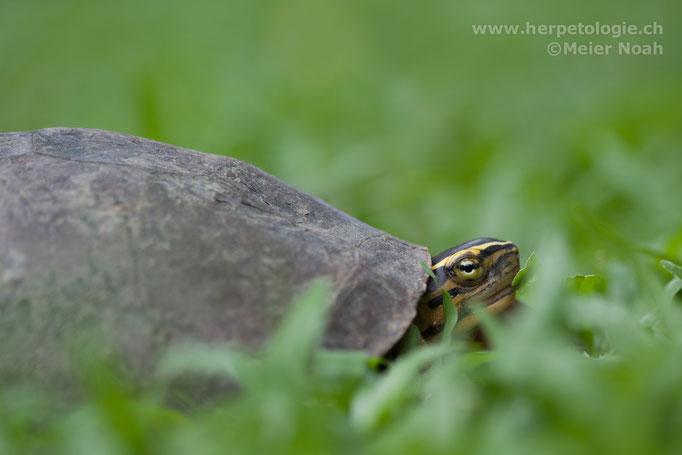 Amboina Scharnierschildkröte (Cuora ambionensis)