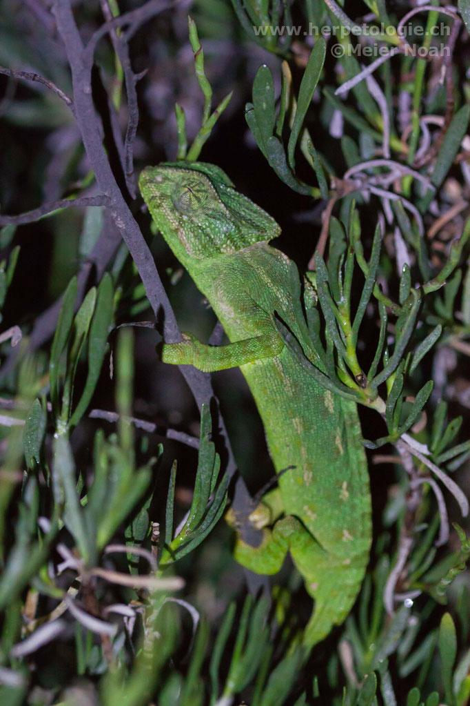 Europäisches Chamäleon (Chamaeleo chamaeleon)