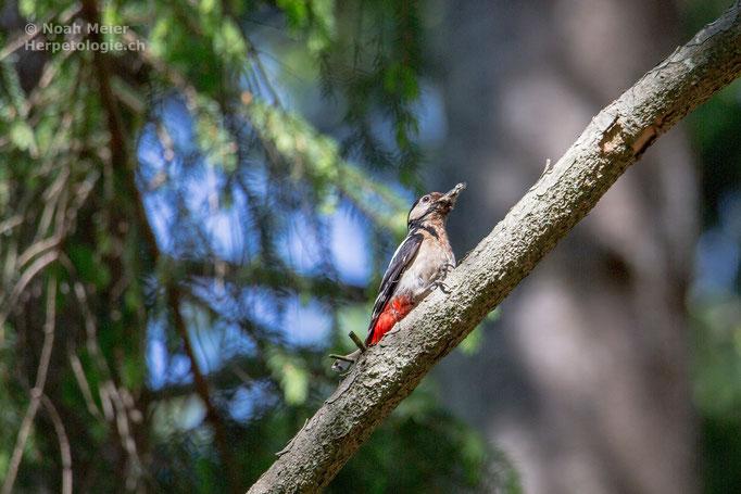 Buntspecht (Dendrocopos major), Schweiz