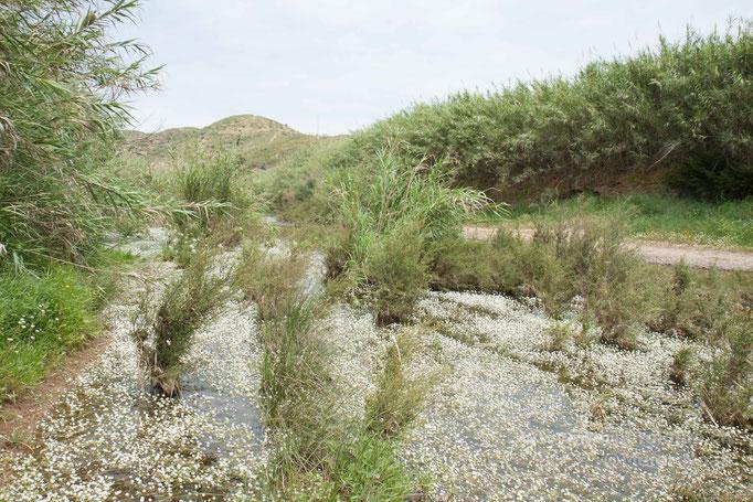Habitat von N.maura und N.astreptophora