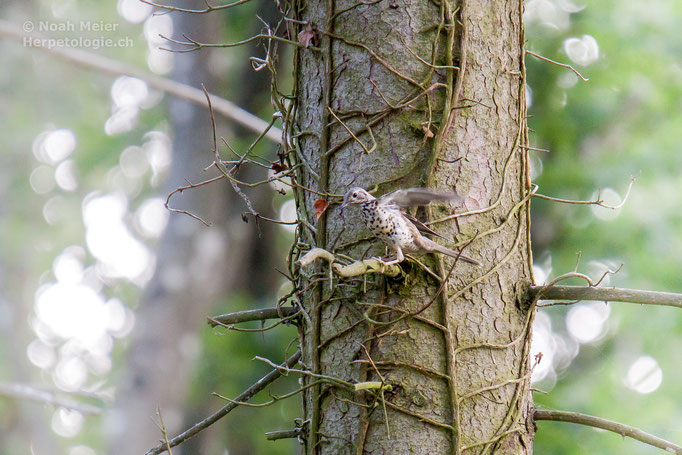 Wacholderdrossel (Turdus pilaris), Schweiz