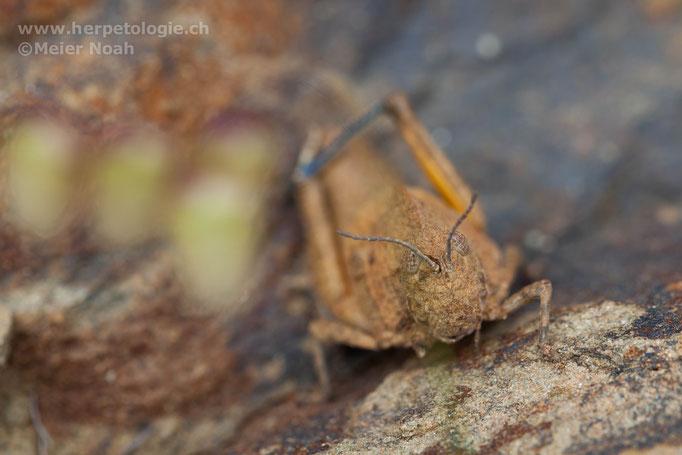 Steinschrecke