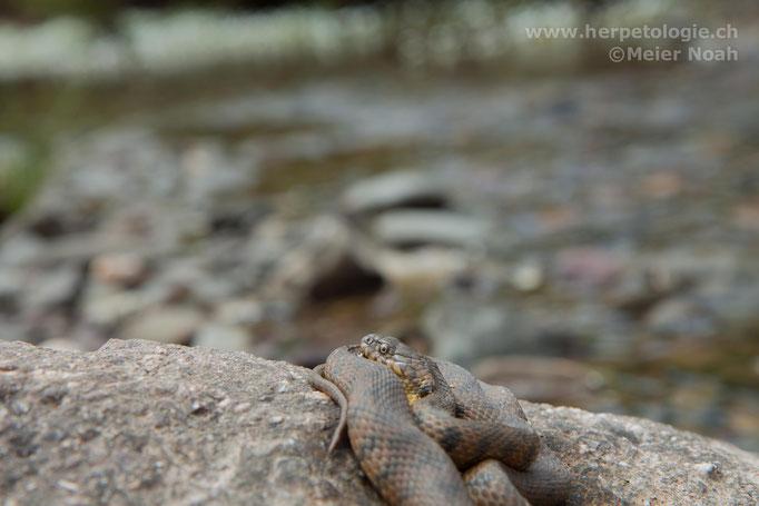Vipernatter (Natrix maura)