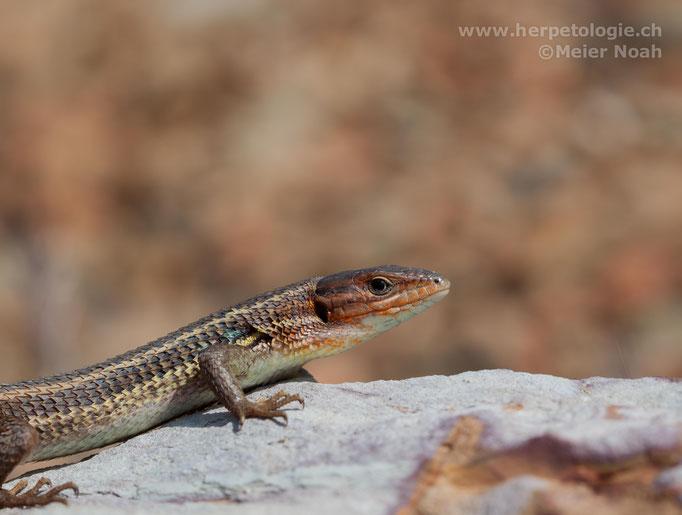 Algerischer Sandläufer (Psammodromus algirus), Männchen