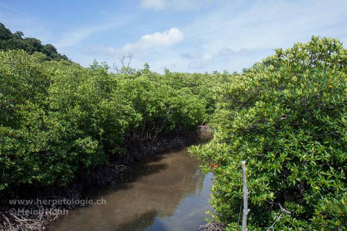Mangrovenwald - Habitat von T.purpureomaculatus