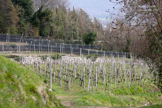 Strukturreiche Rebberge werden gerne von den Vipern als Lebensraum angenommen.