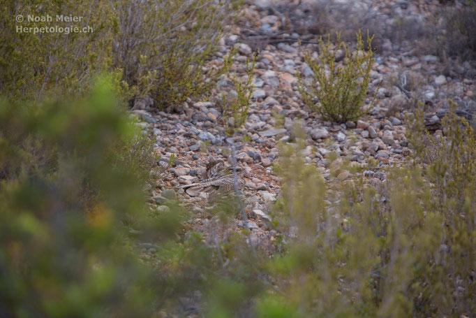 Rothals-Ziegenmelker (Caprimulgus ruficollis), Spanien