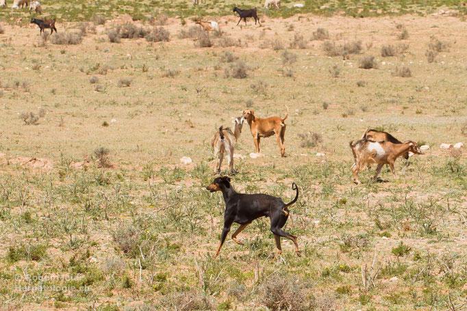 Nordafrikanischer Herdenhund (Slougi)