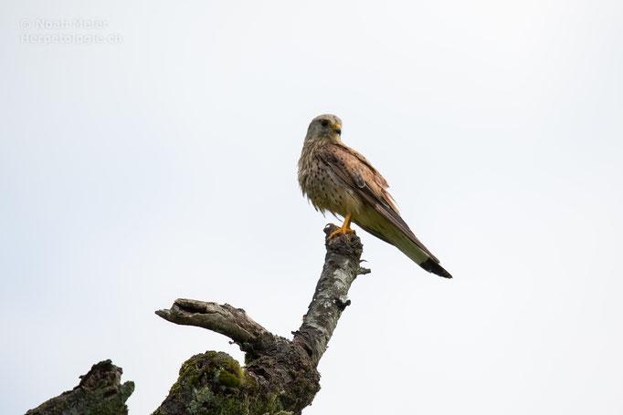 Turmfalke (Falco tinnunculus), Schweiz