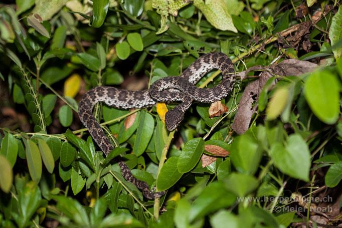 Mangroven-Grubenotter (Trimeresurus purpureomaculatus)