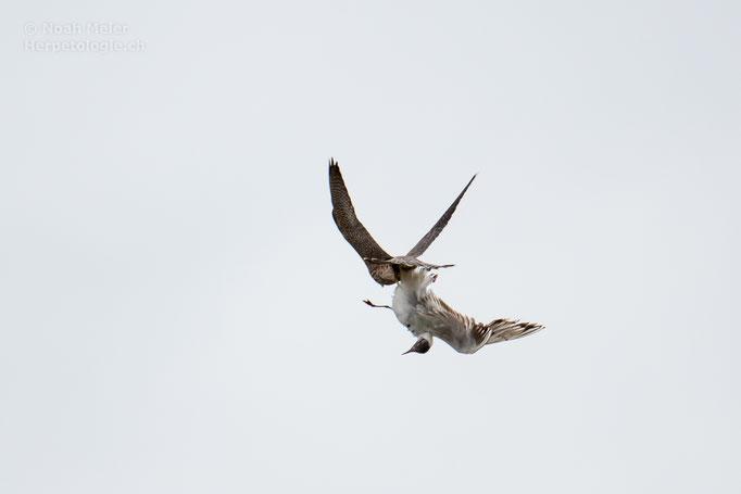 Wanderfalke (Falco peregrinus) Jungvogel mit einer erbeuteten Lachmöwe (Chroicocephalus ridibundus)