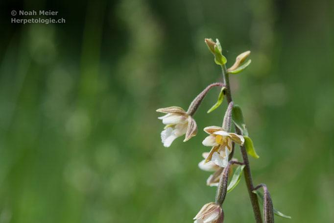 Sumpf-Stendelwurz (Epipactis palustris), Schweiz
