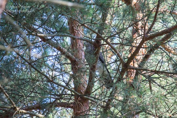 Sperber (Accipiter nisus), Schweiz