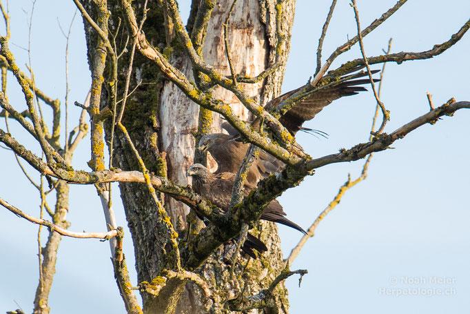 Schwarzmilane (Milvus migrans), bei der Paarung, Schweiz