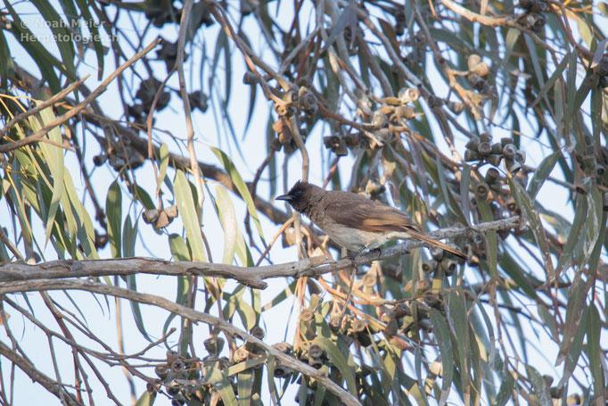 Graubulbul (Pycnonotus barbatus), Marokko
