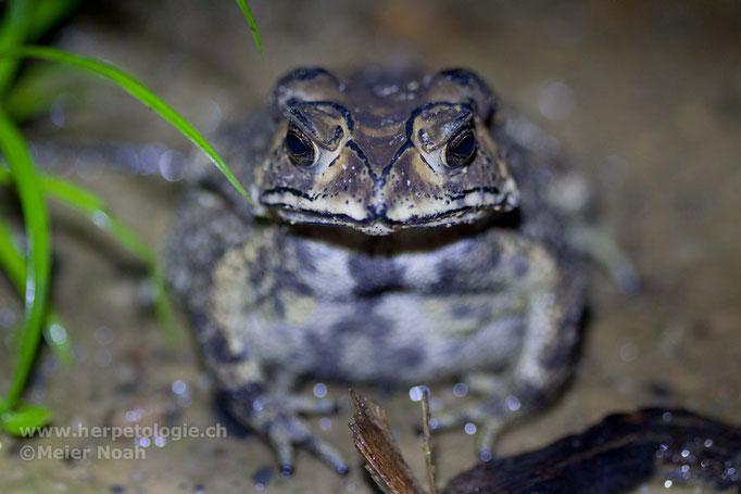 Schwarznarbenkröte (Bufo melanostictus)