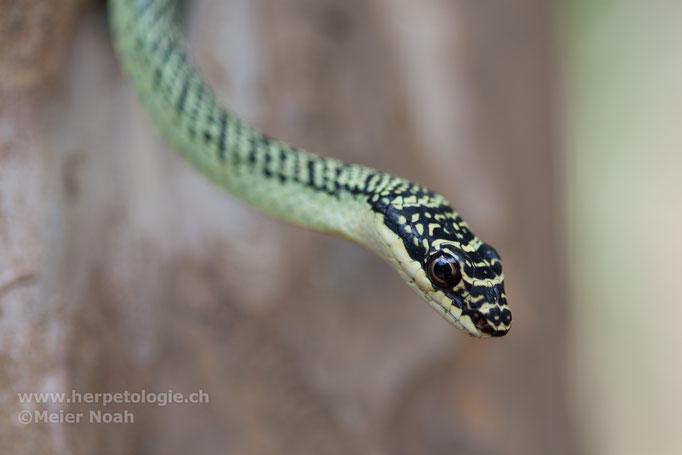 Schmuckbaumnatter (Chrysopelea ornata)