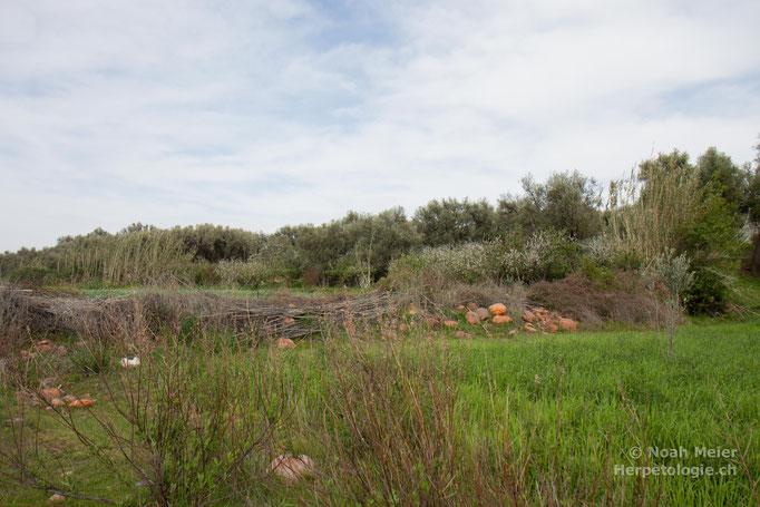 Habitat von Hyla meridionalis, Pelophylax saharicus, Tarentola mauritanica und Testudo graeca