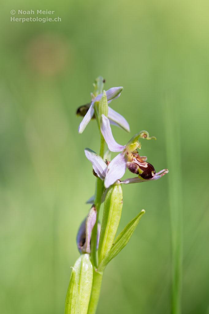 Bienen-Ragwurz (Ophrys apifera), Schweiz