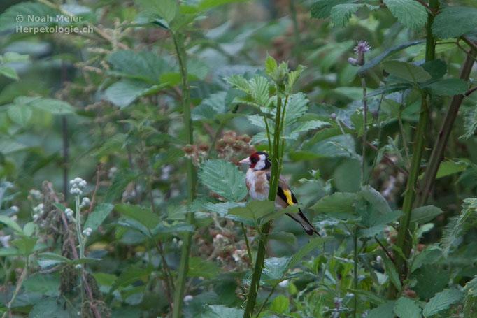 Stieglitz (Carduelis carduelis), Schweiz