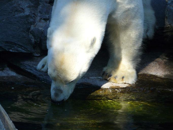 Auch ein Eisbär hat Durst