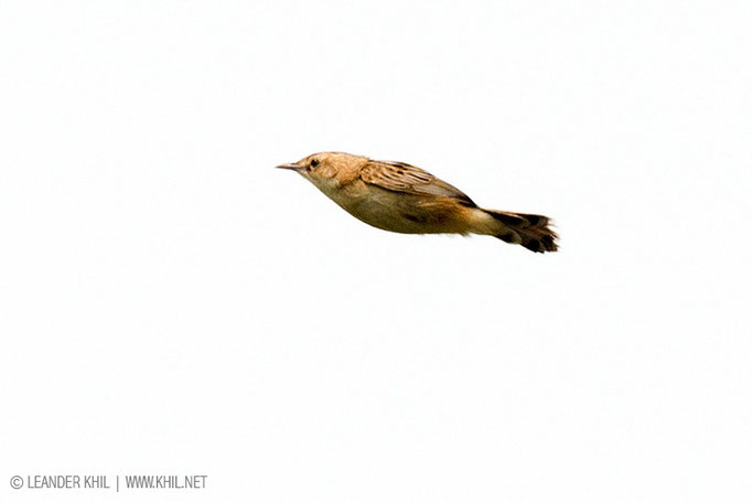 Fan-tailed Warbler / Cistensänger (Cisticola juncidis) in song flight