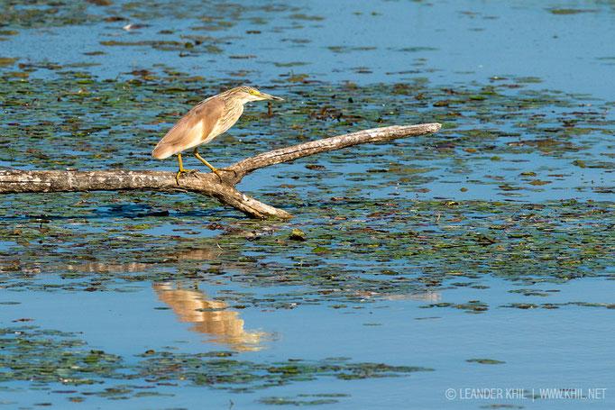 Squacco Heron / Rallenreiher (Ardeola ralloides)