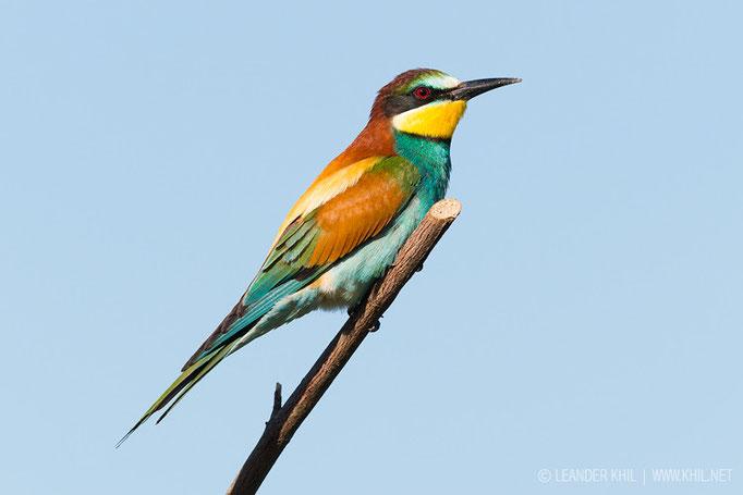 European Bee-eater / Bienenfresser (Merops apiaster)