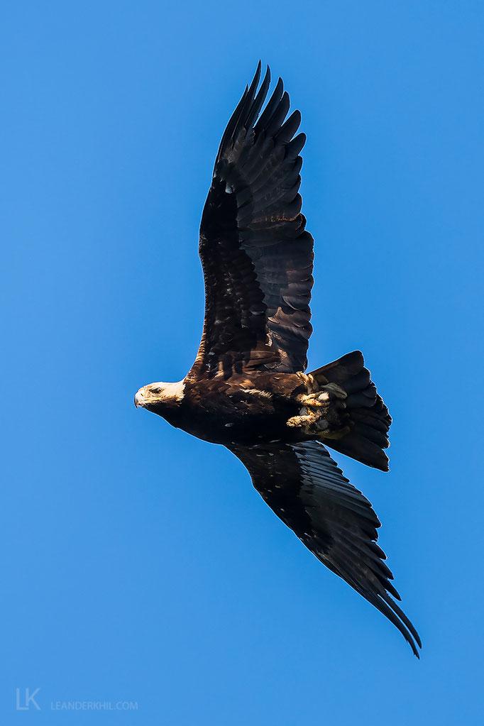 Kaiseradler / Eastern Imperial Eagle