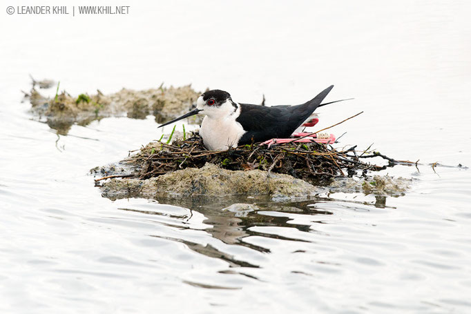 Black-winged Stilt / Stelzenläufer (Himantopus himantopus), ringed male on the nest