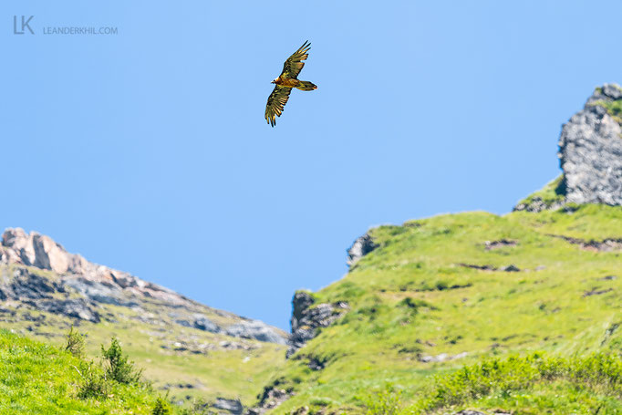 Bartgeier / Bearded Vulture