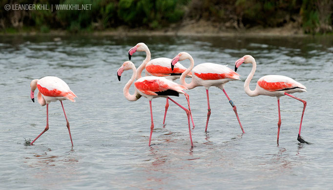 Greater Flamingos / Rosa Flamingos (Phoenicopterus ruber)