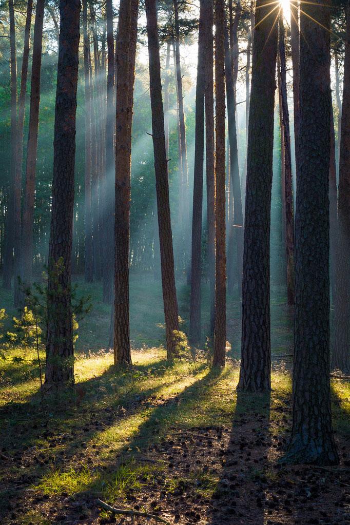 Sonnenstrahlen im Wald bei Westerhausen
