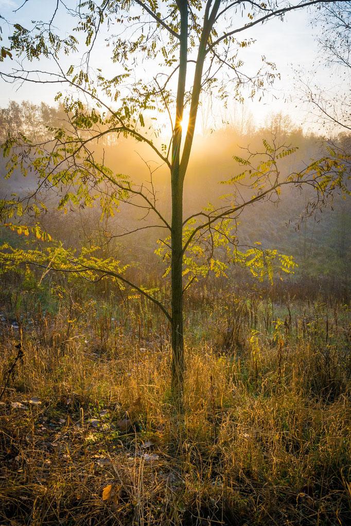 Baum im Sonnenaufgang mit Nebel