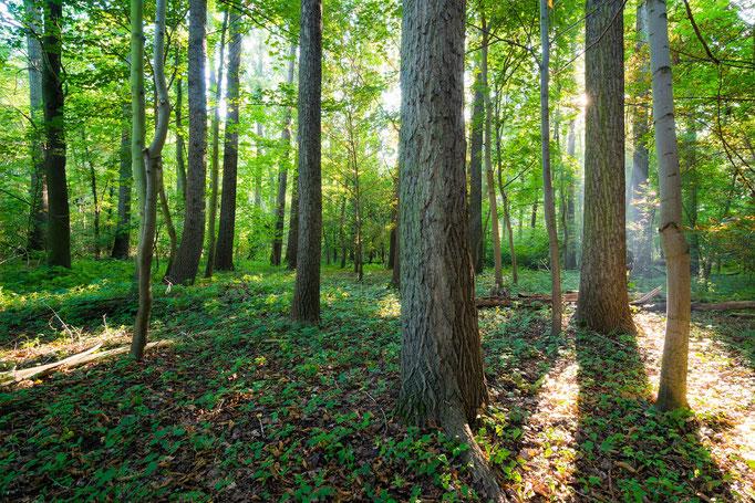 Wald auf der Rabeninsel