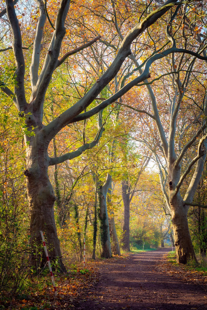 Allee zur Rabeninsel im Herbst