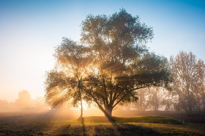 Baum am Pfingstanger im Sonnenaufgang mit Nebel