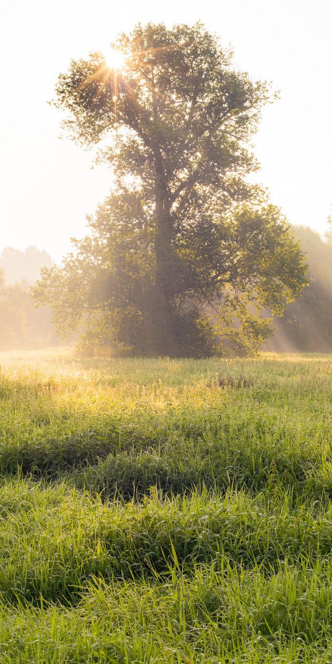 Baum in der Saaleaue im Nebel