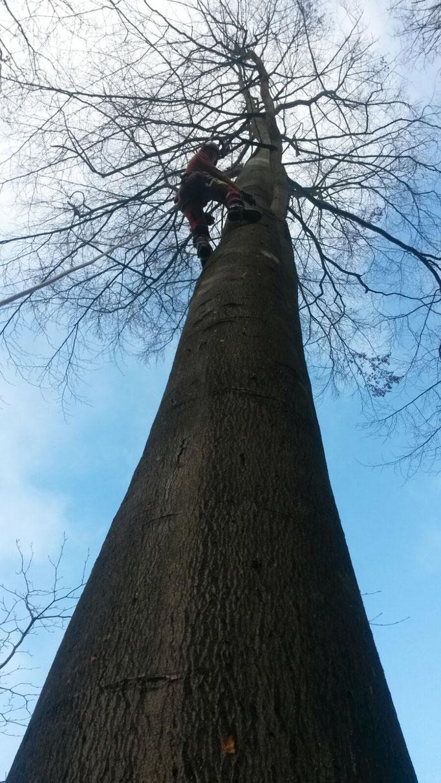 Seilunterstützte Fällung im Starkholz