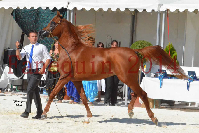 Concours National de Nîmes de chevaux ARABES 2014 - Notre Sélection - PRIAM DE DJOON - 03