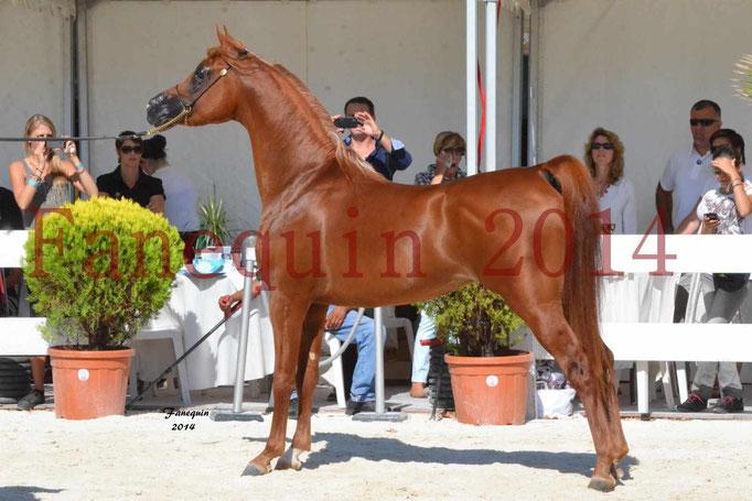 Concours National de Nîmes de chevaux ARABES 2014 - Notre Sélection - PRIAM DE DJOON - 26