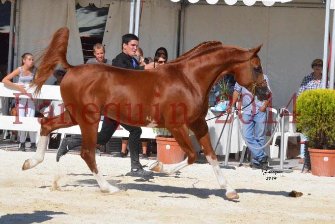 Concours National de Nîmes de chevaux ARABES 2014 - Notre Sélection - VALMYSTIC DE LA ROTJA - 11
