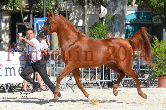 Concours National de Nîmes de chevaux ARABES 2014 - Notre Sélection - PRIAM DE DJOON - 18